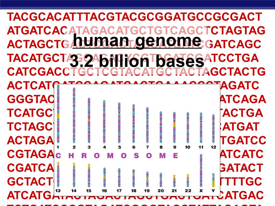 human genome 3.2 billion bases