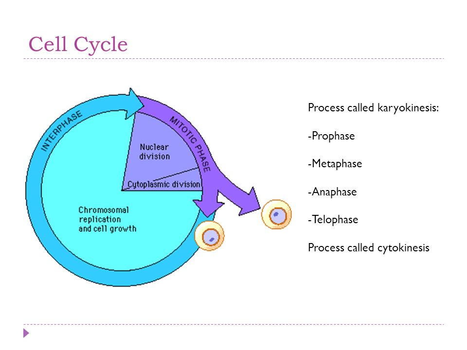 Cell Cycle Process called karyokinesis: Prophase Metaphase Anaphase