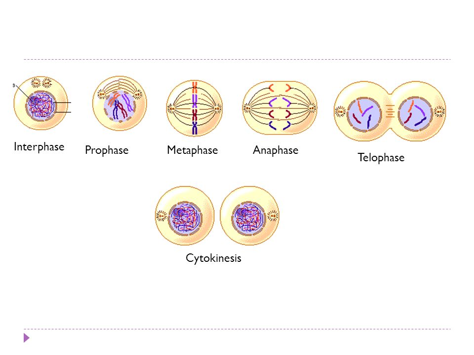 Interphase Prophase Metaphase Anaphase Telophase Cytokinesis