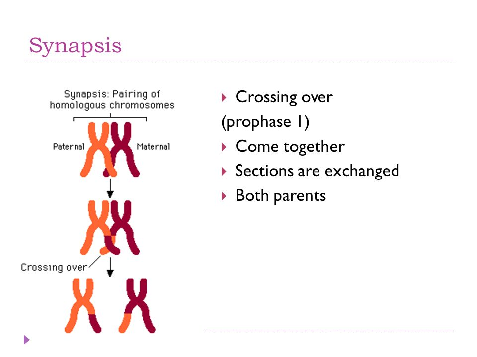 Synapsis Crossing over (prophase 1) Come together