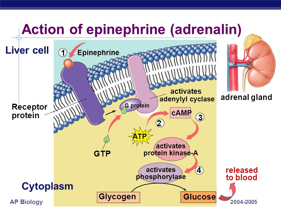 Action of epinephrine (adrenalin)