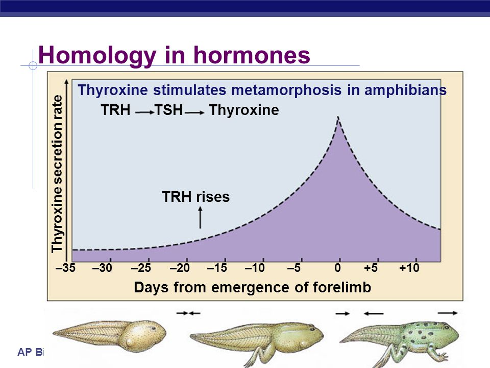 Homology in hormones Thyroxine stimulates metamorphosis in amphibians