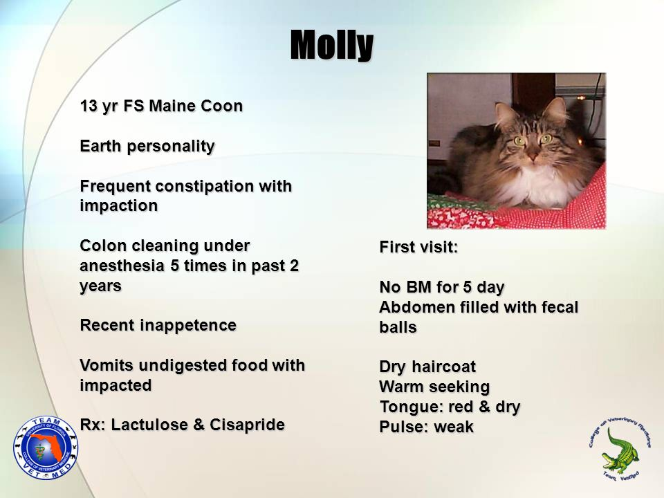 Molly 13 yr FS Maine Coon Earth personality