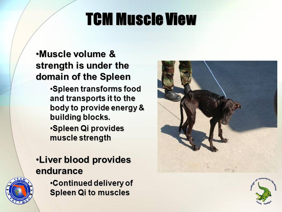 TCM Muscle View Muscle volume & strength is under the domain of the Spleen.
