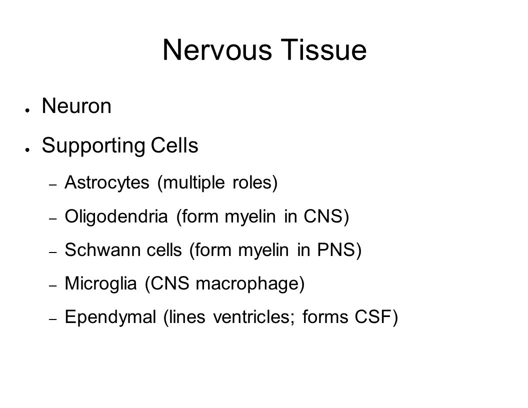 Nervous Tissue Neuron Supporting Cells Astrocytes (multiple roles)