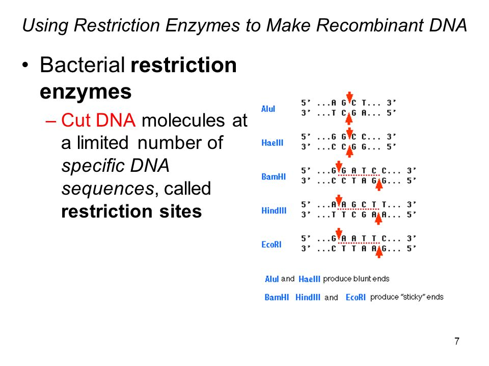 Using Restriction Enzymes to Make Recombinant DNA