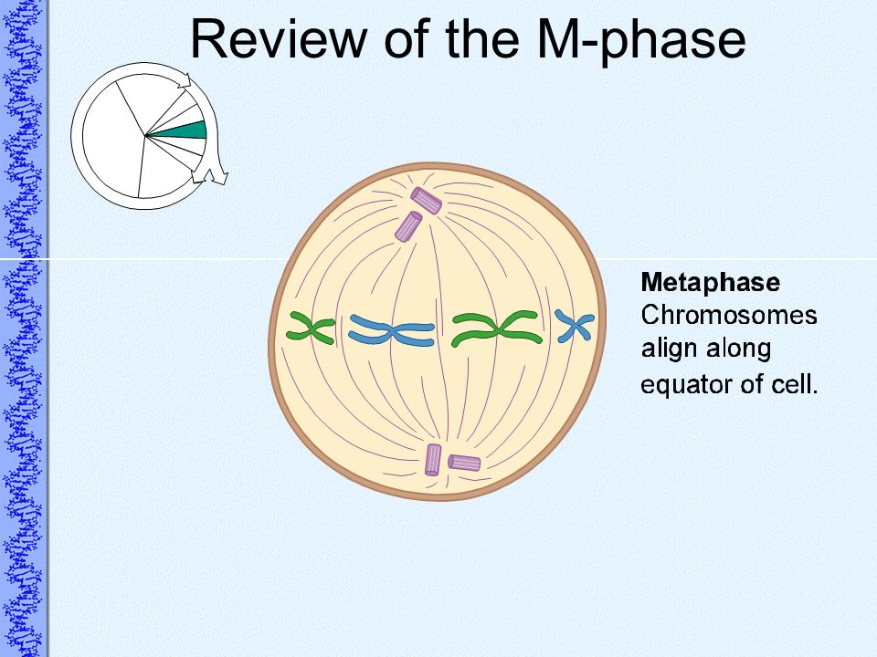 Review of the M-phase
