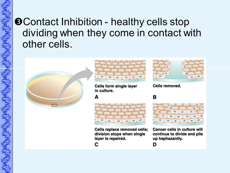Contact Inhibition - healthy cells stop dividing when they come in contact with other cells.