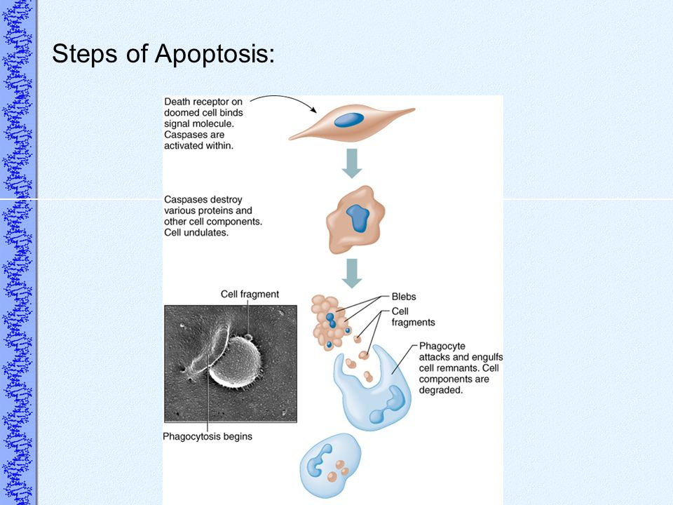Steps of Apoptosis: Death receptors activate enzymes called capases.