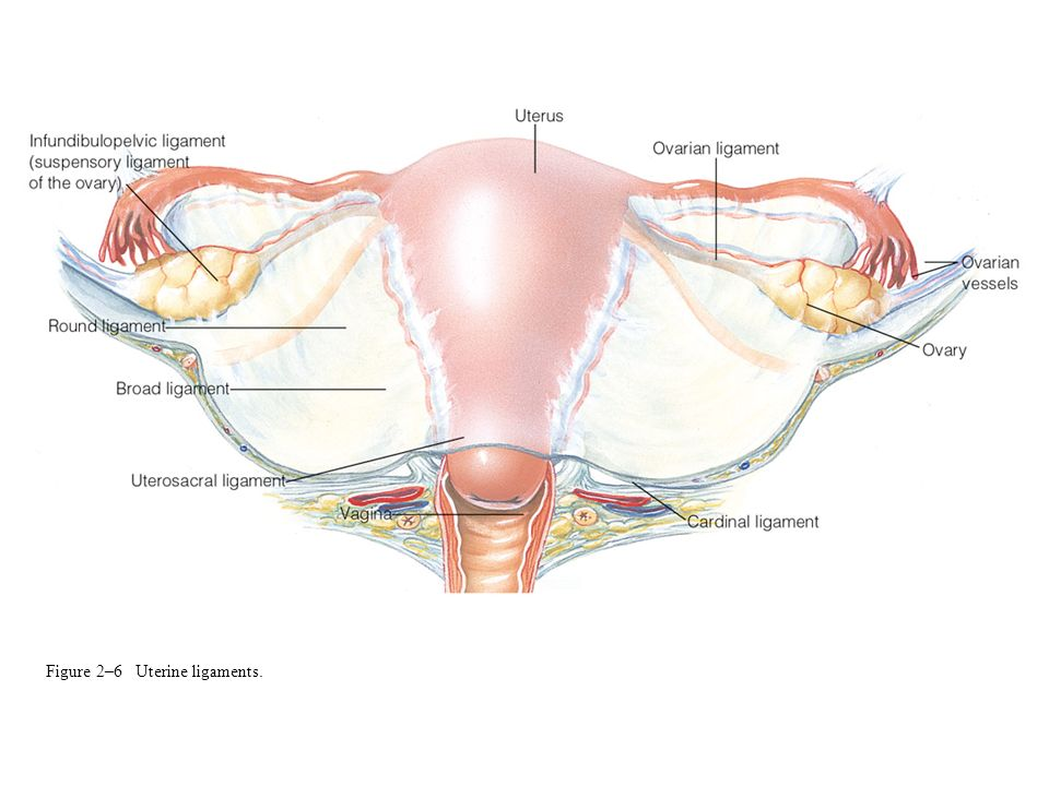 Figure 2–6 Uterine ligaments.