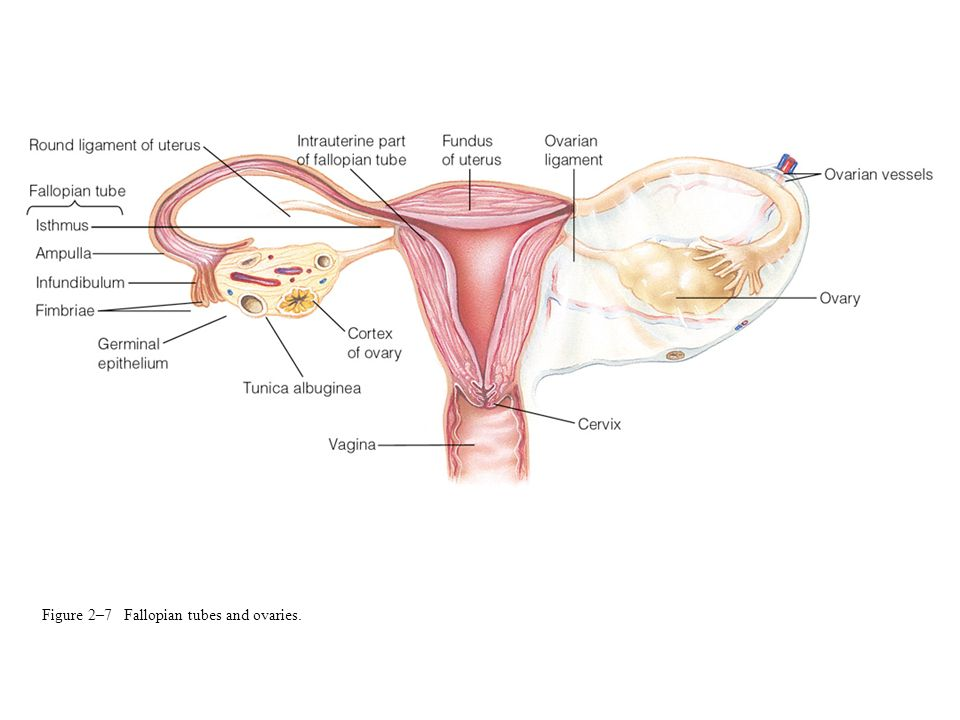Figure 2–7 Fallopian tubes and ovaries.