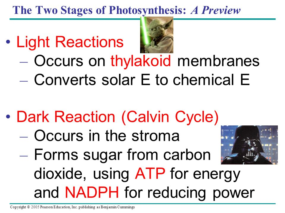 The Two Stages of Photosynthesis: A Preview