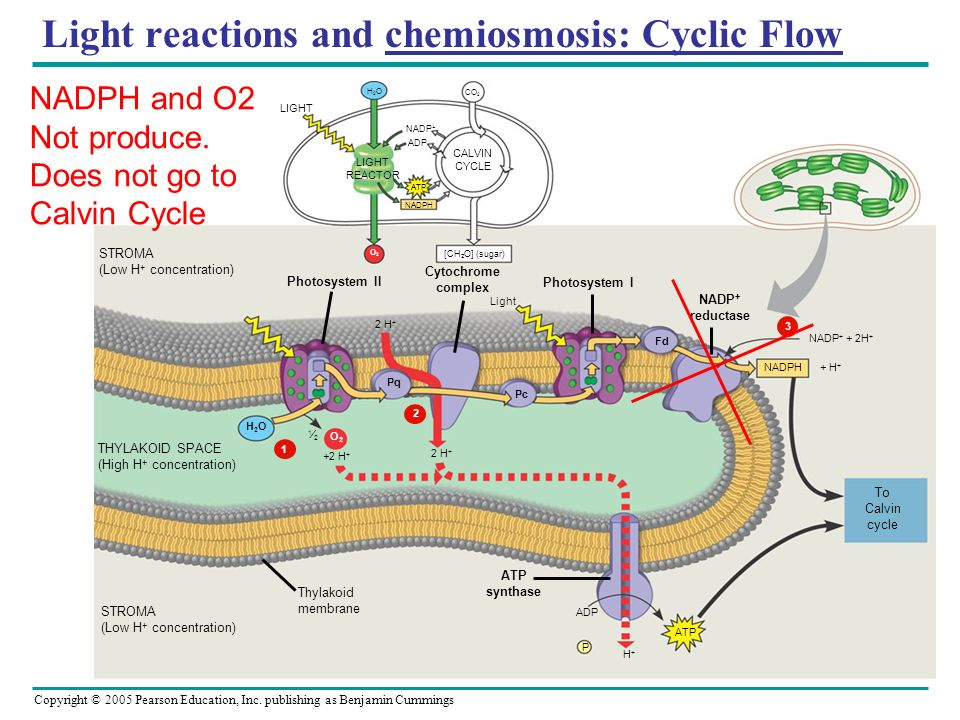 Light reactions and chemiosmosis: Cyclic Flow