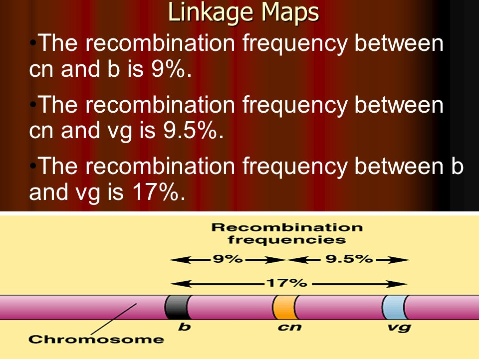 Linkage Maps The recombination frequency between cn and b is 9%.
