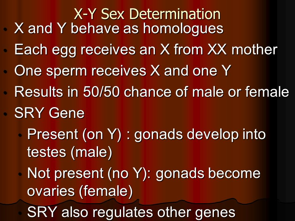 X-Y Sex Determination X and Y behave as homologues. Each egg receives an X from XX mother. One sperm receives X and one Y.