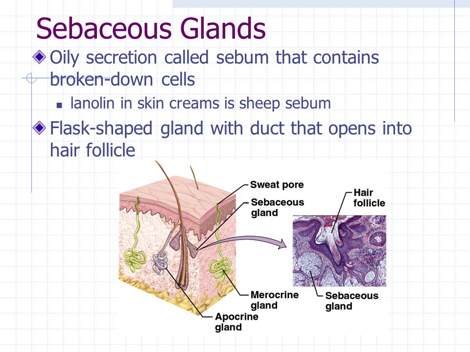 Sebaceous Glands Oily secretion called sebum that contains broken-down cells. lanolin in skin creams is sheep sebum.
