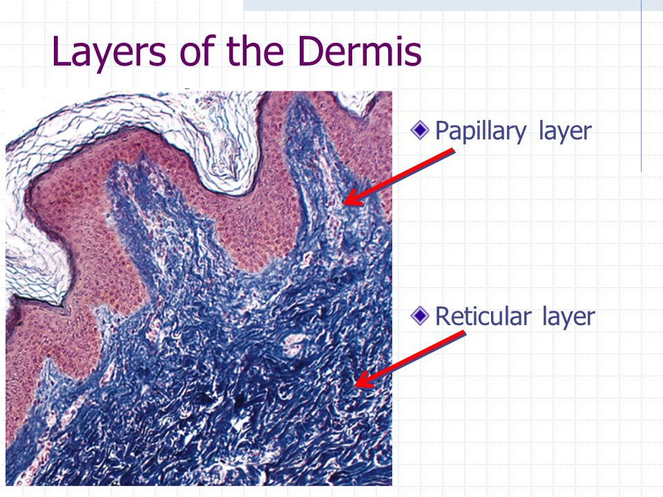 Layers of the Dermis Papillary layer Reticular layer