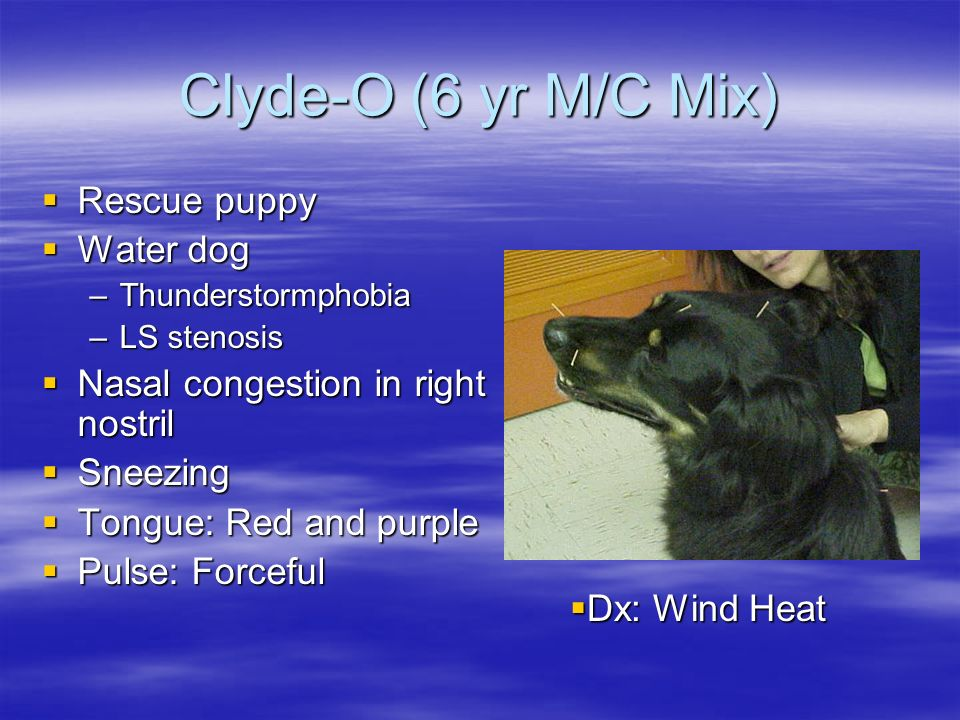 Clyde-O (6 yr M/C Mix) Rescue puppy Water dog