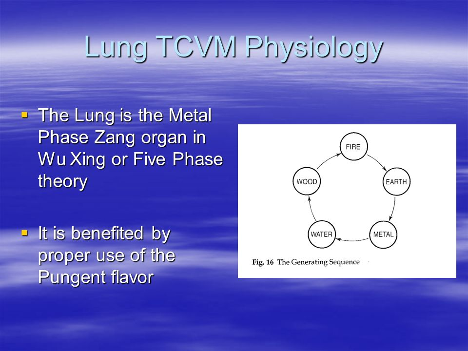 Lung TCVM Physiology The Lung is the Metal Phase Zang organ in Wu Xing or Five Phase theory.