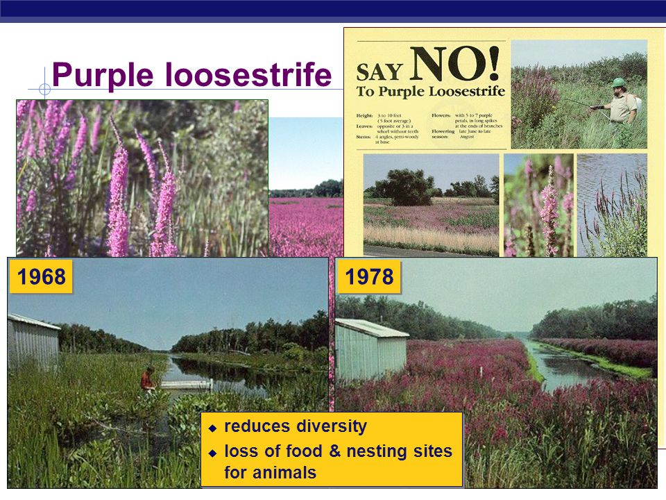 Purple loosestrife 1968 1978 reduces diversity