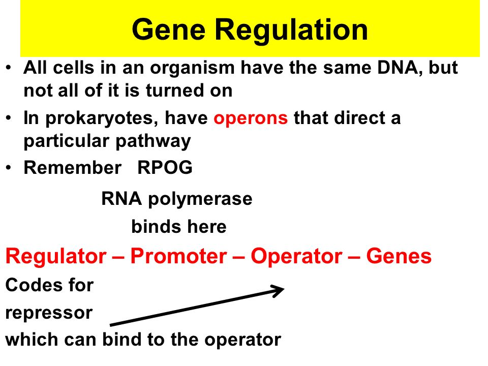 Gene Regulation RNA polymerase Regulator – Promoter – Operator – Genes