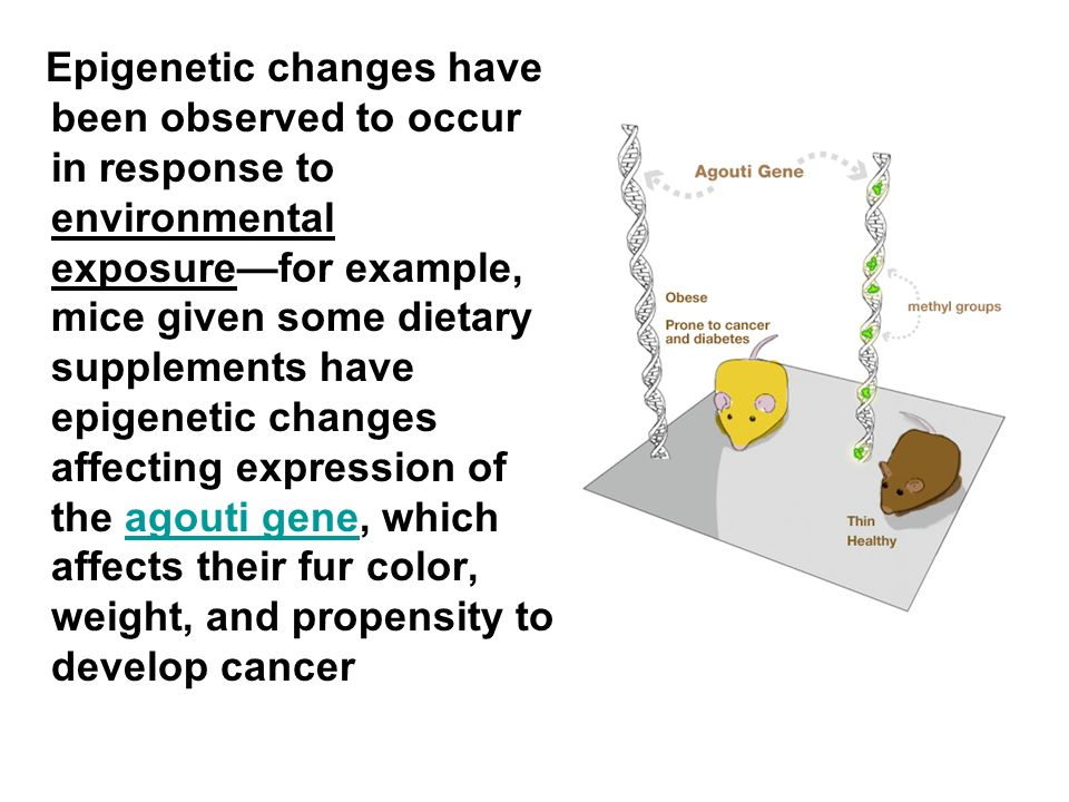 Epigenetic changes have been observed to occur in response to environmental exposure—for example, mice given some dietary supplements have epigenetic changes affecting expression of the agouti gene, which affects their fur color, weight, and propensity to develop cancer