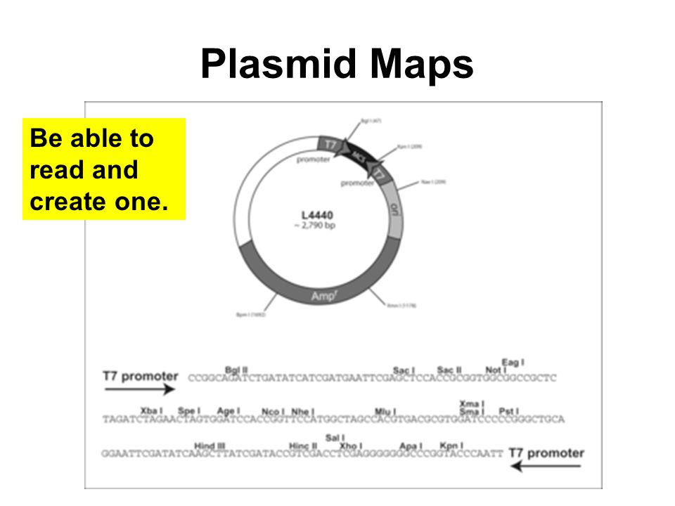 Plasmid Maps Be able to read and create one.