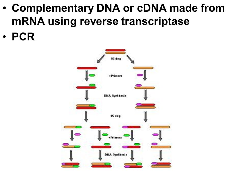 Complementary DNA or cDNA made from mRNA using reverse transcriptase