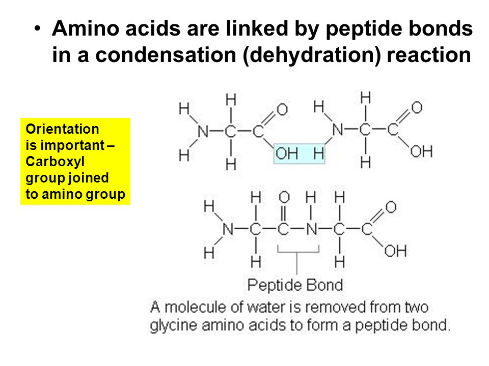 Amino acids are linked by peptide bonds in a condensation (dehydration) reaction