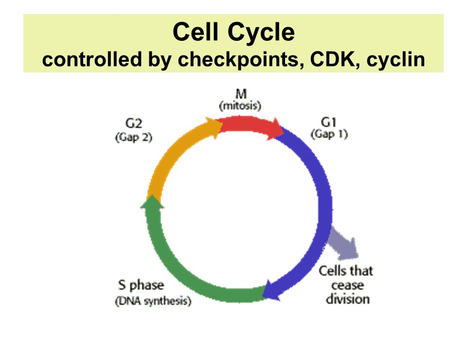 Cell Cycle controlled by checkpoints, CDK, cyclin