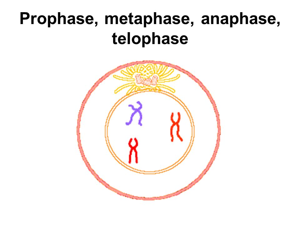 Prophase, metaphase, anaphase, telophase