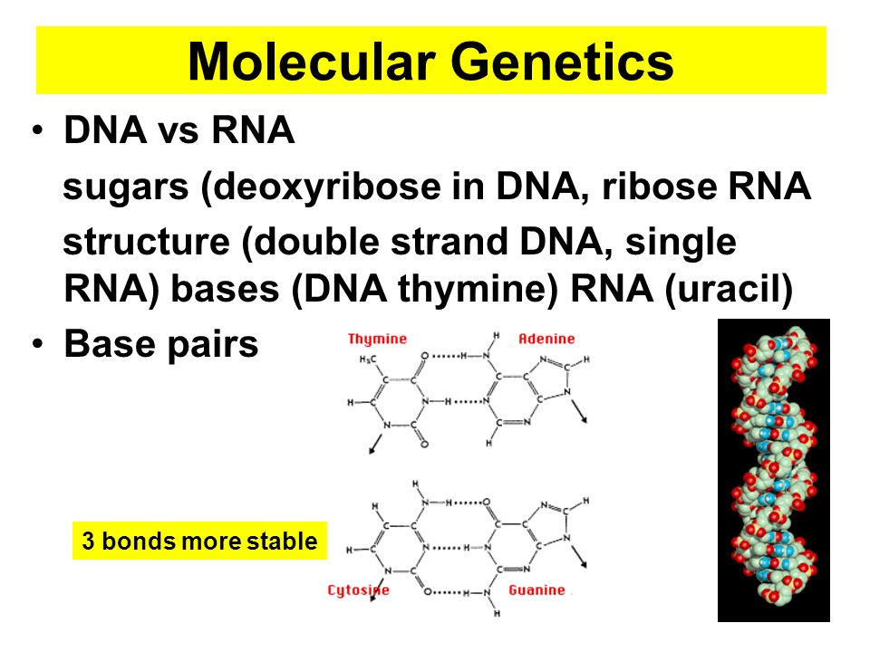 Molecular Genetics DNA vs RNA sugars (deoxyribose in DNA, ribose RNA