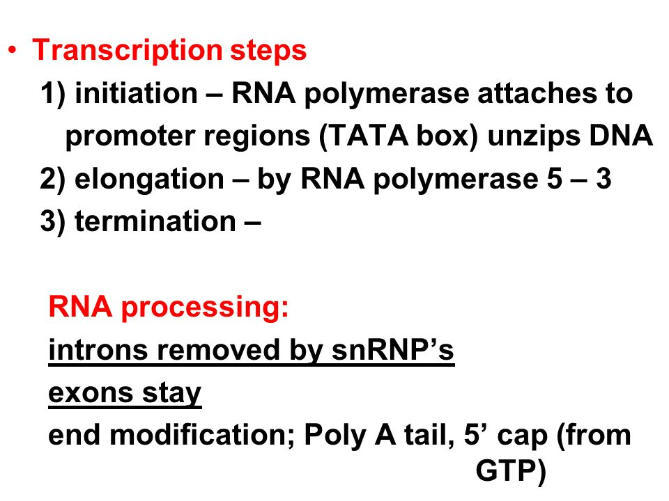 Transcription steps 1) initiation – RNA polymerase attaches to. promoter regions (TATA box) unzips DNA.