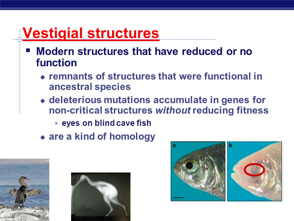 Vestigial structures Modern structures that have reduced or no function. remnants of structures that were functional in ancestral species.