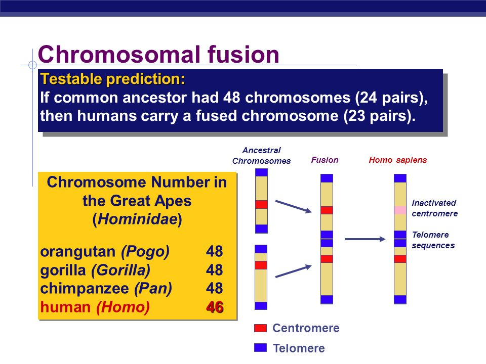 Ancestral Chromosomes Chromosome Number in the Great Apes (Hominidae)
