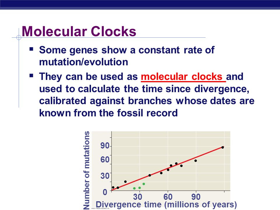 Molecular Clocks Some genes show a constant rate of mutation/evolution