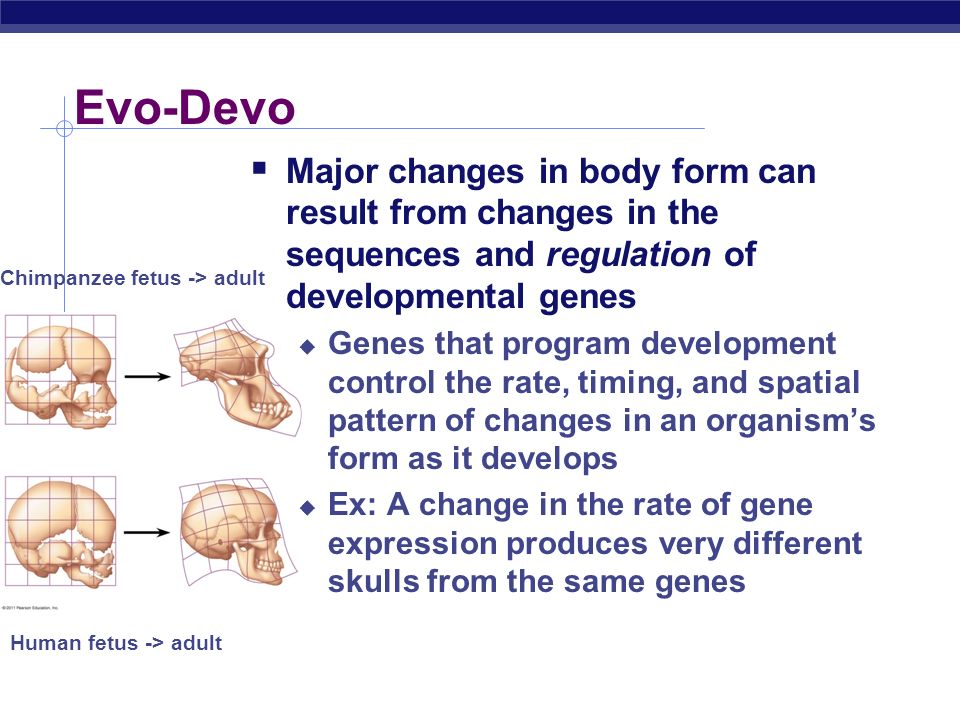 Evo-Devo Major changes in body form can result from changes in the sequences and regulation of developmental genes.