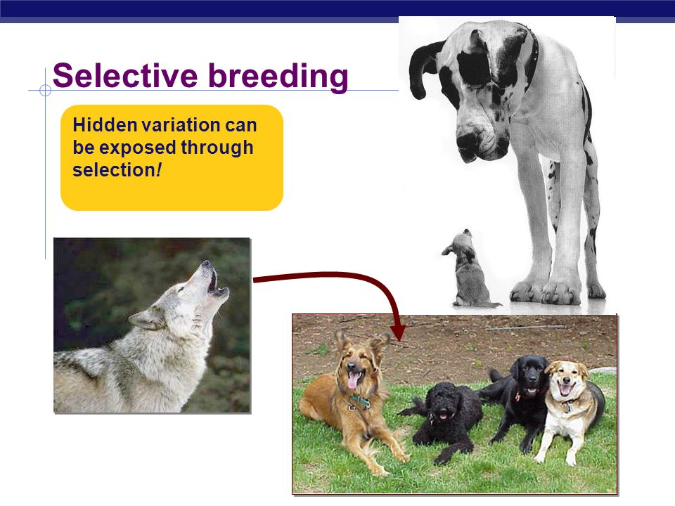 Selective breeding Hidden variation can be exposed through selection!