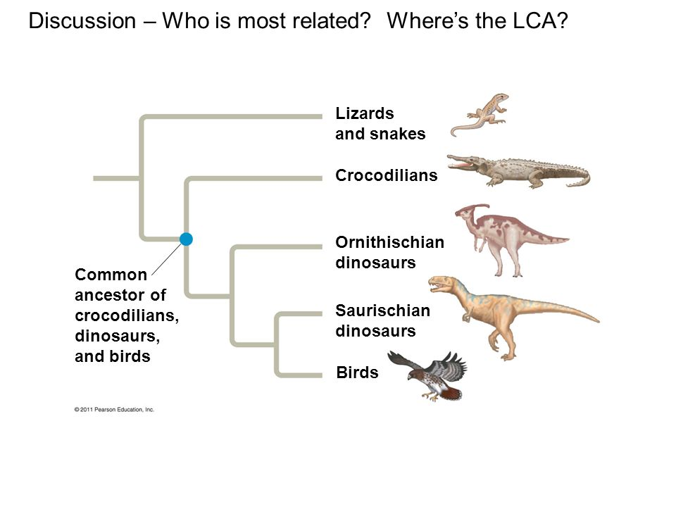 Discussion – Who is most related Where's the LCA