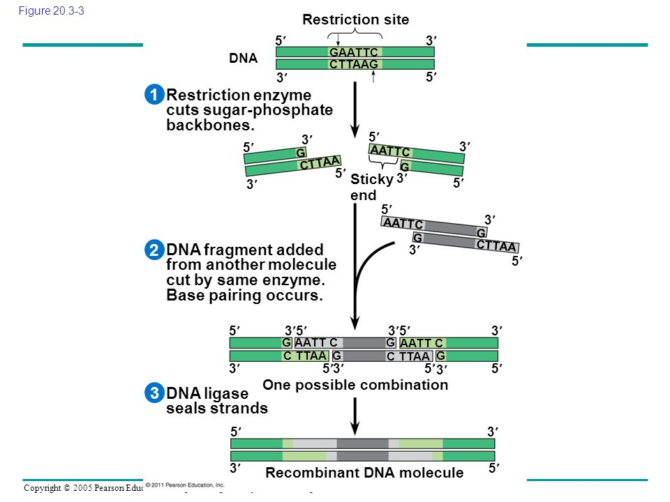 1 2 3 Restriction enzyme cuts sugar-phosphate backbones.