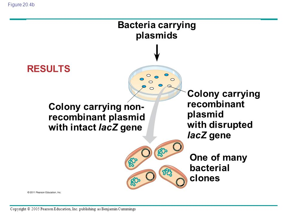 Bacteria carrying plasmids