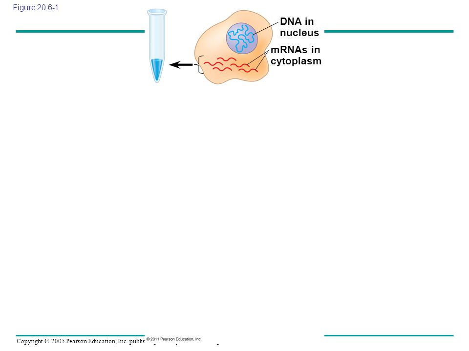 DNA in nucleus mRNAs in cytoplasm Figure 20.6-1