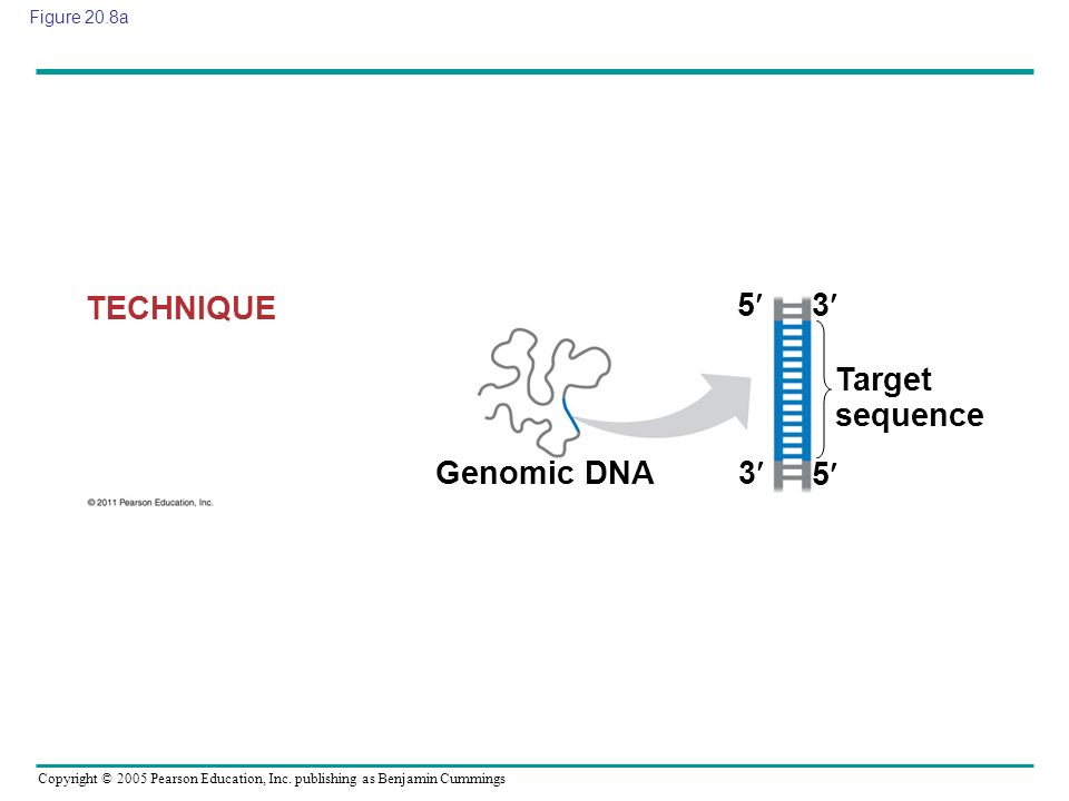 TECHNIQUE 5 3 Target sequence Genomic DNA 3 5 Figure 20.8a