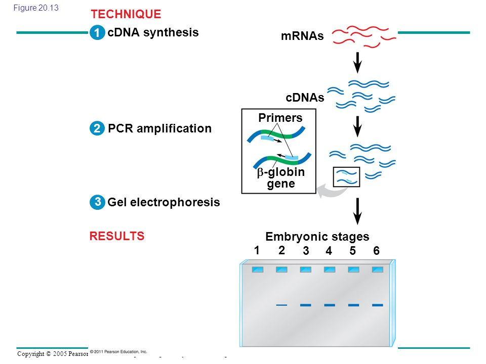TECHNIQUE 1 cDNA synthesis mRNAs cDNAs Primers 2 PCR amplification