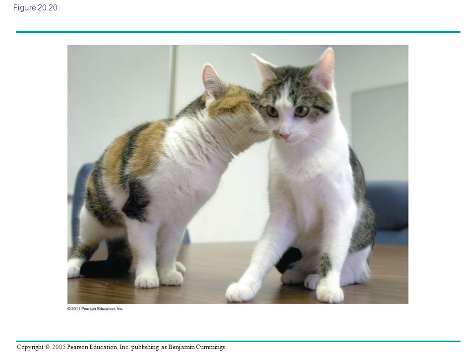 Figure 20.20 Figure 20.20 CC, the first cloned cat, and her single parent.