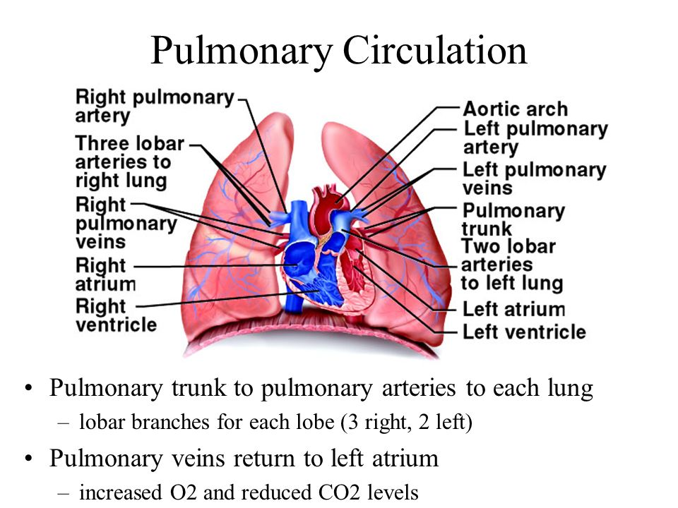Attractive Right Pulmonary Artery Gallery - Anatomy And Physiology ...