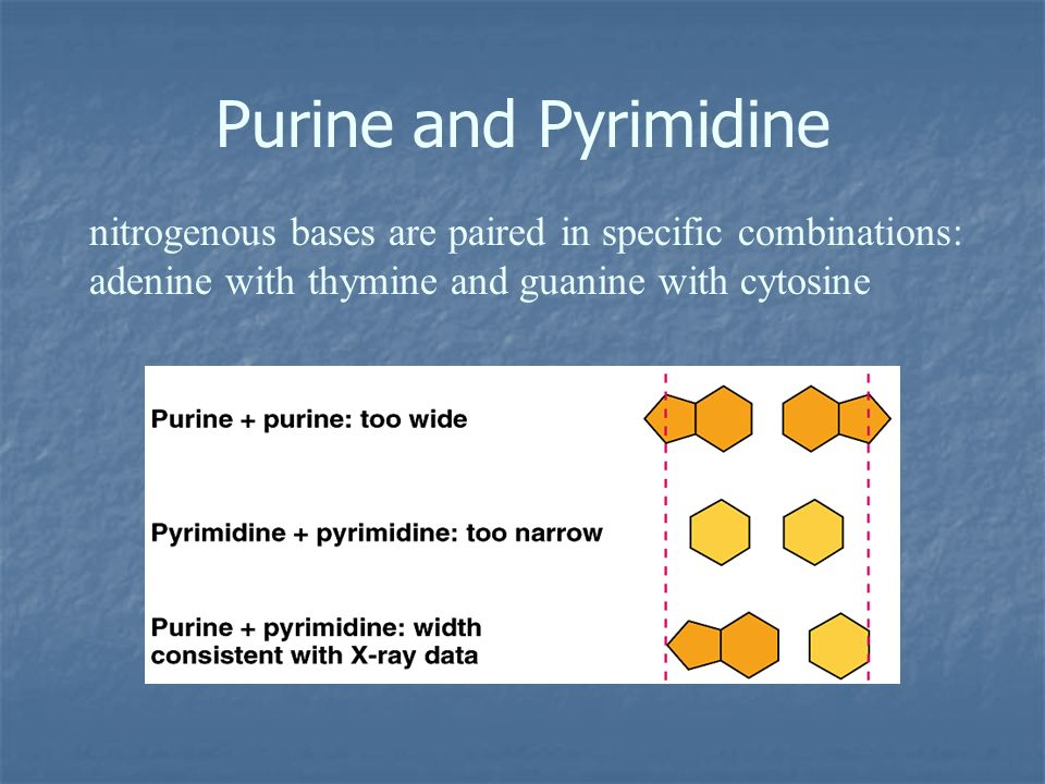 Purine and Pyrimidine nitrogenous bases are paired in specific combinations: adenine with thymine and guanine with cytosine.