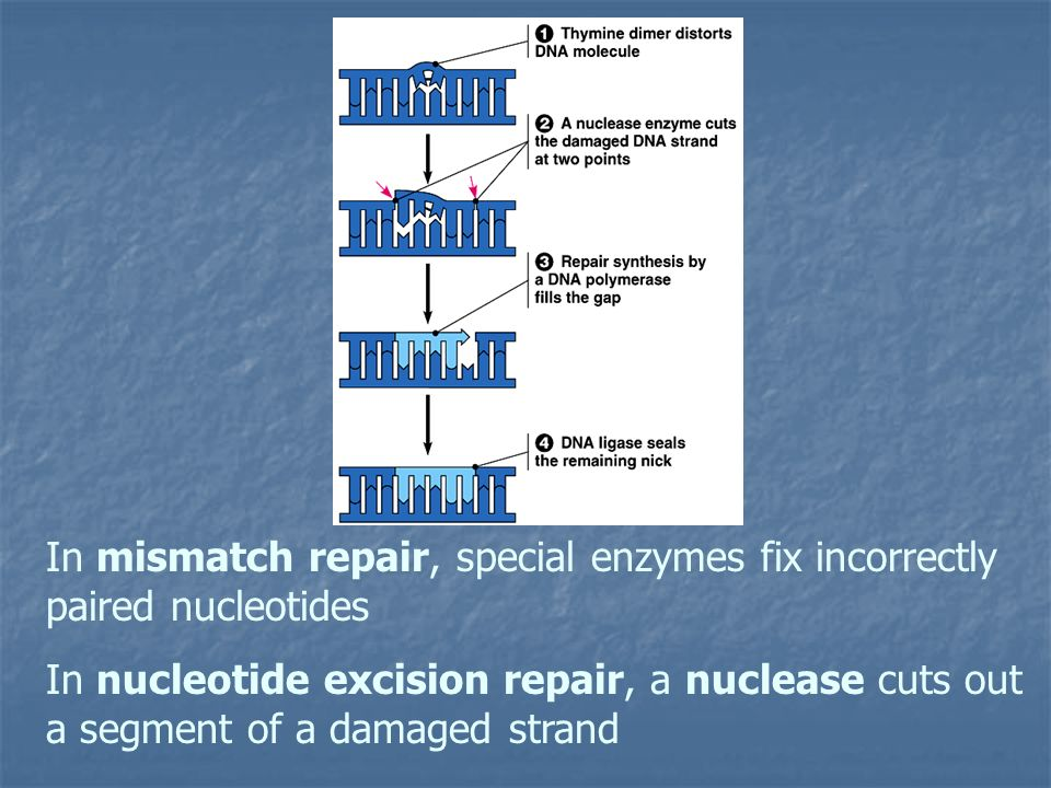 In mismatch repair, special enzymes fix incorrectly paired nucleotides
