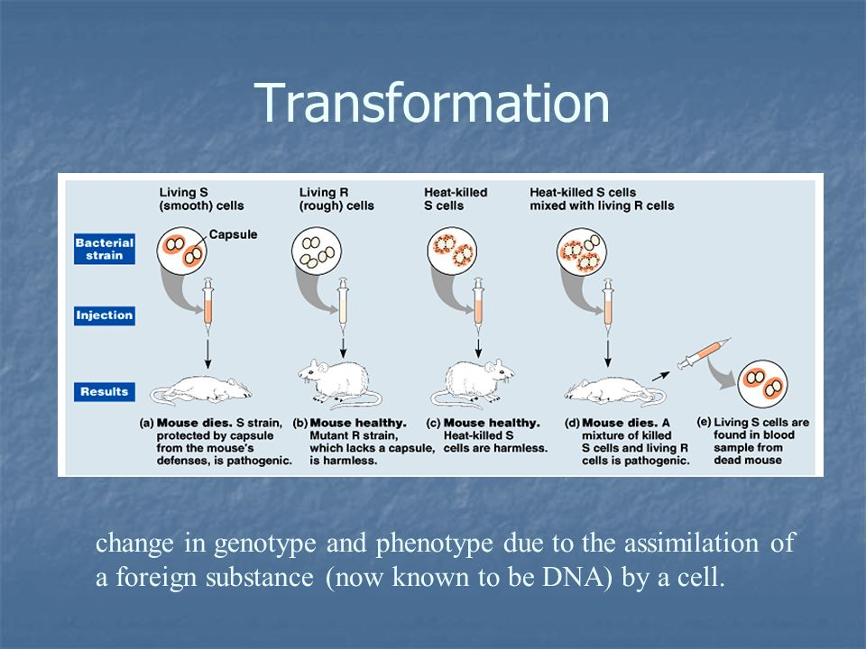 Transformation change in genotype and phenotype due to the assimilation of a foreign substance (now known to be DNA) by a cell.