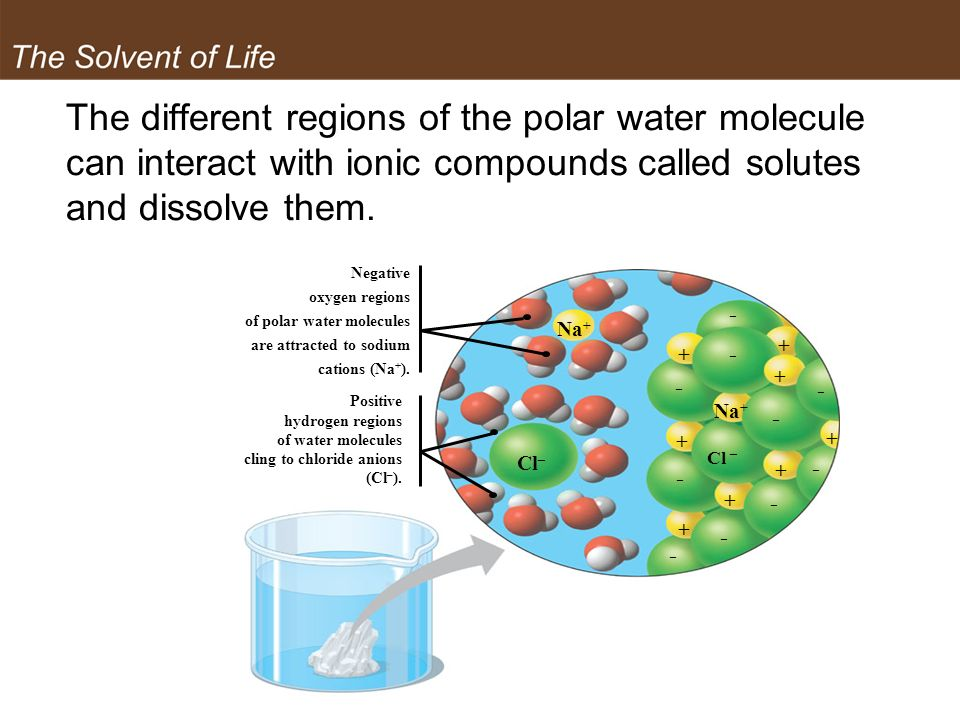 The Solvent of Life The different regions of the polar water molecule can interact with ionic compounds called solutes and dissolve them.